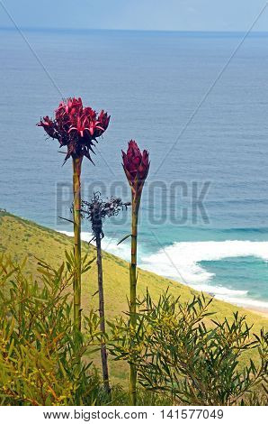 Tall flower spikes of the Gymea Lily (Doryanthes  excelsa) growing near Garie beach, Royal National Park. Also known as the Flame Lily or Spear Lily. Native to coastal New South Wales, Australia.