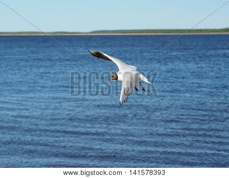 Gull lake is a typical inhabitant of rivers and lakes of Yakutia