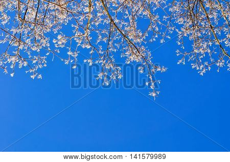 Frosty branches of the winter tree against the bright blue sunny sky. Winter background with free space for text.