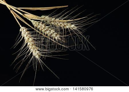 Barley isolated on a black background in the top left corner in landscape orientation