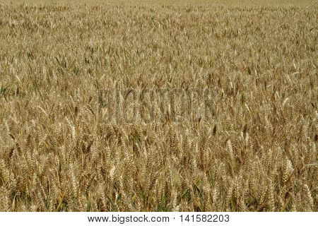 Field of ripe barley on a summer day