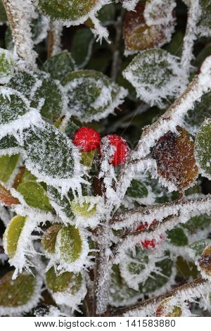 A few surviving berries cling on through the harsh winter