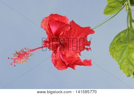 A single red Hibiscus flower the National Flower of Malaysia