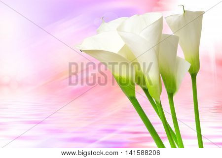 Close up of beautiful calla lily flower