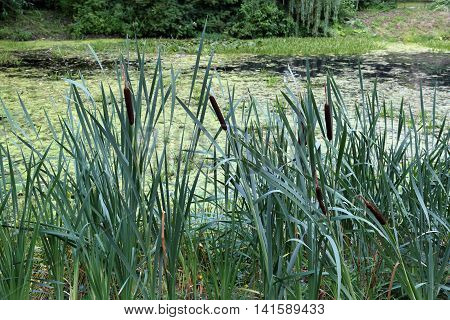 Reeds By The Old Pond