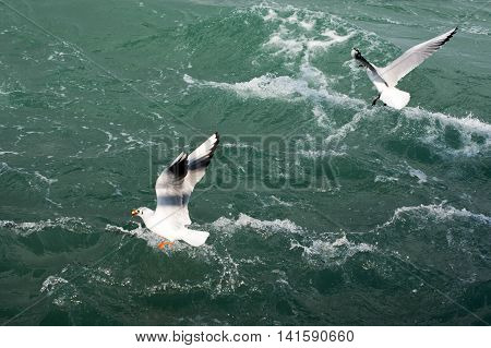 Some seagulls flys over the waters of sea