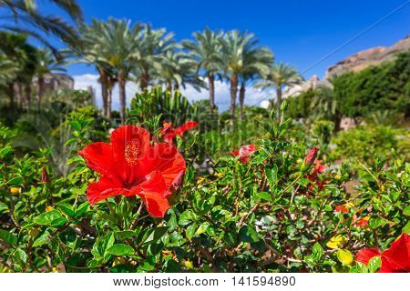 Tropical hibiscus flowers on Gran Canaria island, Spain