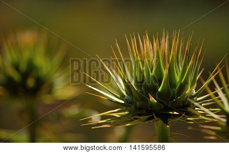Flower head of wild artichoke in late spring