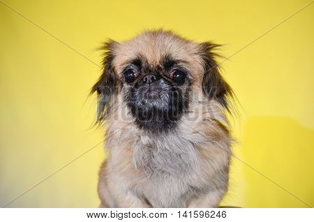 friendly dog on a yellow background in studio