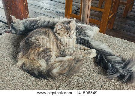 Sleeping Maine Coon cat on the floor