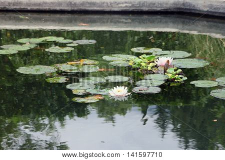artificial pond with white flowers of water lilies and green round leaves of lilies an green water in Crimea