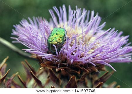 big green beetle Cetonia aurata on flower bud of Cardoon or Cynara cardunculus or artichoke thistle closeup