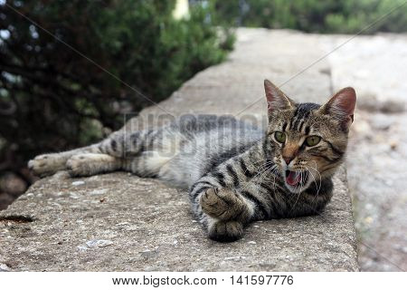 beautiful crimean non-pedigree tabby eared cat lying on stone parapet and yawning and posing to photographer