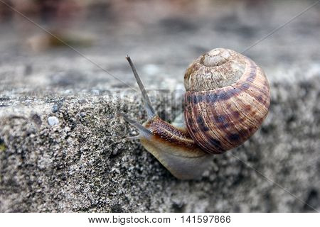 brown long big snail round shell with stripes and with long horns crawling on the edge of stone closeup