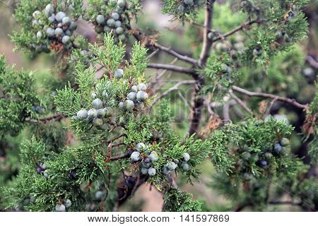 sprig with green big berry like cones of juniperus communis the common juniper closeup in Crimea