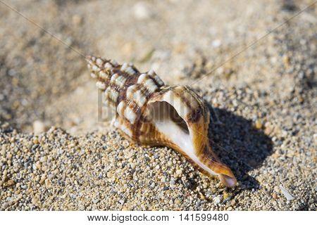 Hermit crayfish shell on sand beach nobody