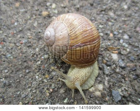 A burgundy snail (Helix pomatia) with a brown helical shell