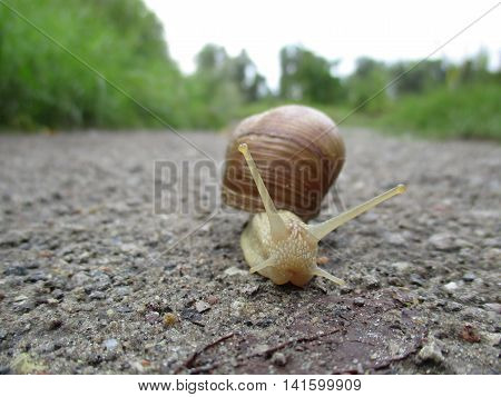 Ventral view of a burgundy snail (Helix pomatia) moving along a gravel road