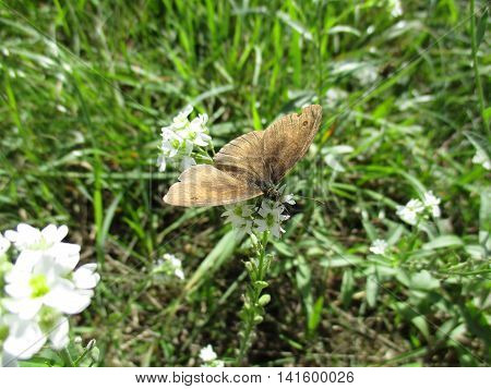 A brush-footed butterfly uses its proboscis to collect nectar from flowers