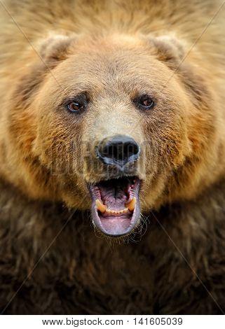 Brown Bear Portrait In Forest