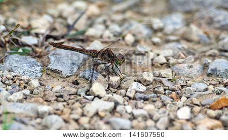 pretty shades of different color dragonfly sits on on the road of small stones, nature, natural,