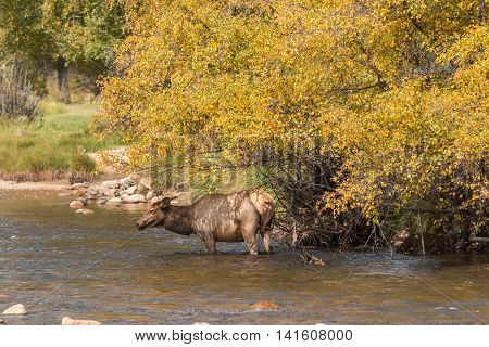 a cow elk going for a drink in a stream