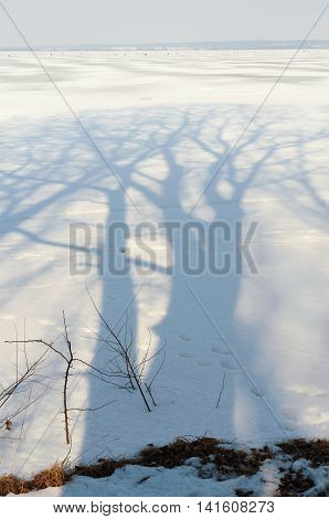 huge bare trees shadow on thaw winter snow by sunny day