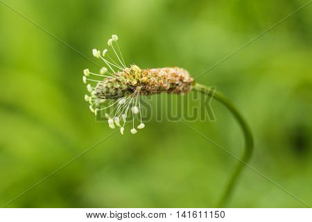 close photo of bloom of narrowleaf plantain