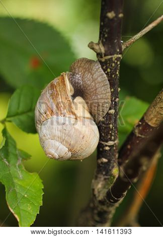 close photo of edible snail holding on the branch of young tree with nice green leaves