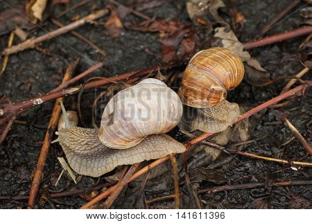 close photo of two edible snails going across some sear twigs and plants on the ground