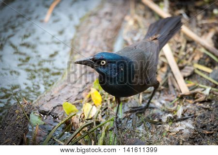 Young Brewer's Black bird (euphagus cyanocephalus) forages along the banks of the Ottawa river for food scraps.