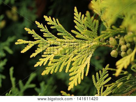 close photo of fresh twig of cedar in contrast with dark background