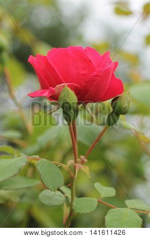 close photo of crimson bloom of a rose and two buds