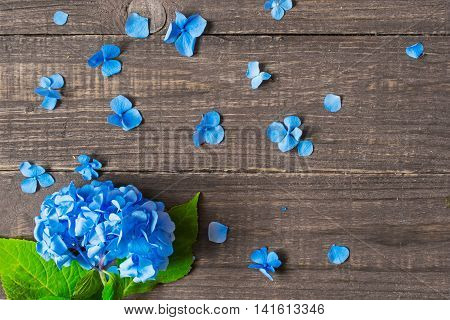 blue flowers of hydrangea with petals and copy space on brown wooden background