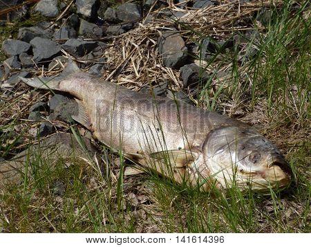 Dead fish lying on grass near lake