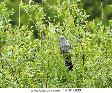 Migratory parastic bird Eurasian Cuckoo in Sussex countryside