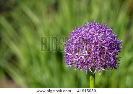 Purple allium in full bloom against a green background