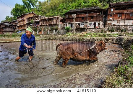Jilun Dong Village Guizhou Province China - April 9 2010: Asian peasant plows ground at flooded paddy field using force of brown cow.