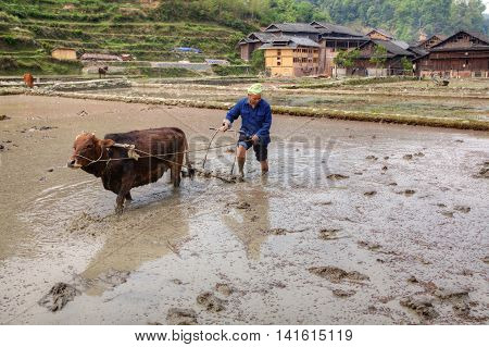 Zhaoxing Dong Village Guizhou Province China - April 9 2010: Chinese farmer to plough the soil to rice field drenched with water using the power of the red cow.