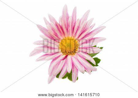 chrysanthemum botany bouquet   macro on white background