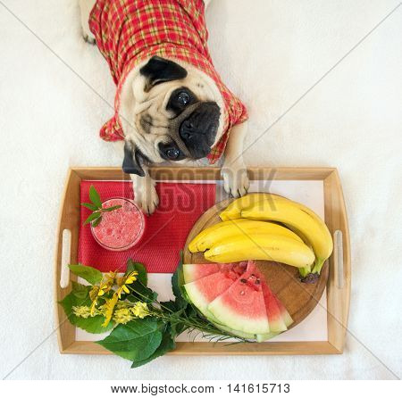 little dog and his breakfast . He waits until the host will give him a piece of watermelon
