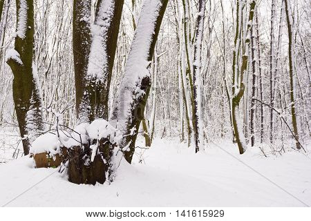 View on the forest covered with snow in January