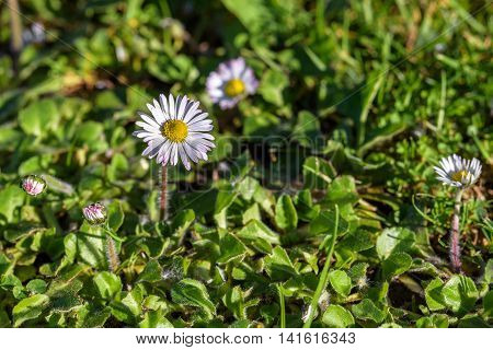 Grass lawn invaded by English daisies and other weeds