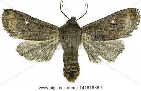 Satellite Moth on white Background  -  Eupsilia transversa (Hufnagel, 1766)
