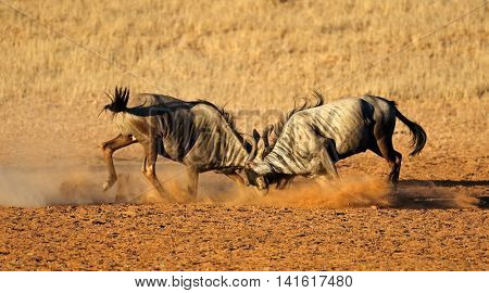 Two male blue wildebeest Connochaetes taurinus) fighting for territory, Kalahari desert, South Africa