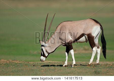 A gemsbok antelopes (Oryx gazella) in natural habitat, Kalahari desert, South Africa