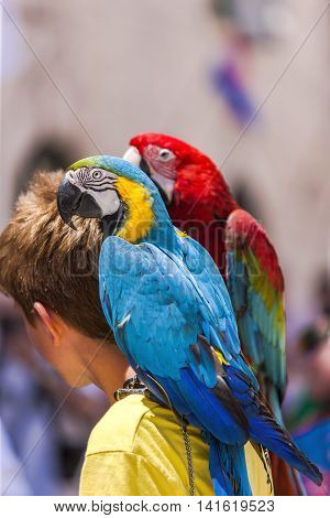 Two parrots on a man's shoulder. Birds have blue red yellow green and many colors. Photo with warm tones is taken at sunlight in Dubrovnik Croatia.