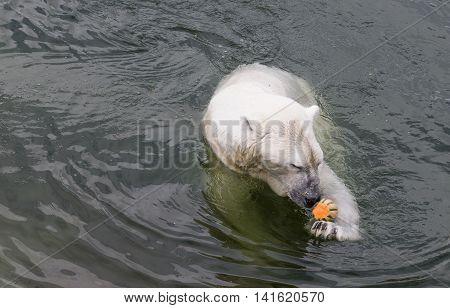 Polar bear in a water eating a melon