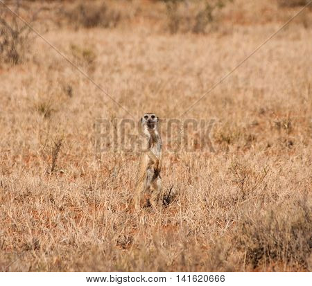A Meerkat stands sentry while the family forages in Southern African savanna