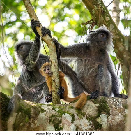 Mother and baby of silvered leaf langur monkey in Bako National Park, Borneo, Malaysia